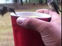 Kolibry, które piją słodką herbatę z kubka