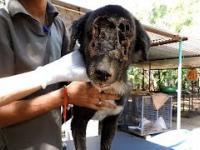 Na ratunek psu z wielką rana na głowie