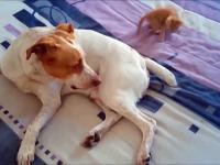 Sześciotygodniowy kotek atakujący psa