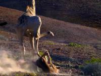 Żyrafa daje nauczkę lwicy