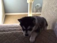 Husky spada ze schodów.