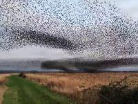 Amazing Bird Murmurations