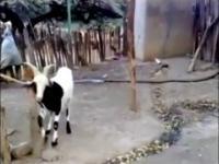 Koza pijana dupa sprzedana