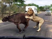 Lwy atakują bawoła kilka metrów od turystów