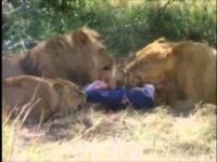 Turysta przez własną głupotę zostaje zaatakowany przez lwy