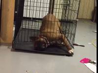 Cwany pies ucieka się z zamkniętej klatki
