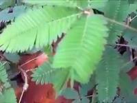 Niesamowita roślina odpowiada na dotyk