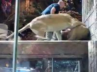 Pracownik zoo zostaje zaatakowany przez Lwa na wybiegu