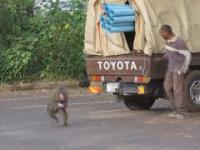 Małpy okradają samochód