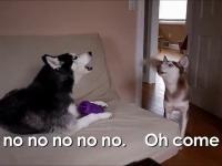 Takie tam rozmówki dwóch Husky