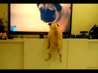 Psy ogląda TV