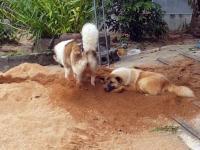 Pies zakopuje swojego przyjaciela