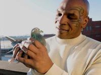 Mike Tyson kupił norweskie gołębie za 15,000 euro | Skandynawiainfo.pl