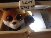 Nigdy nie próbuj budzić tego lisa!