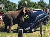 Rozwścieczony słoń atakuje samochód