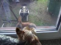 York Terrier vs Wiewiórka