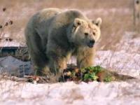 Szokująca przemiana uratowanej niedźwiedzicy