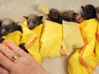 Mycie i owijanie w ciepły kocyk małych nietoperzy