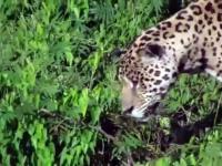 Jaguar atakuje krokodyla pod wodą
