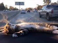 Zahipnotyzowany kot na desce rozdzielczej