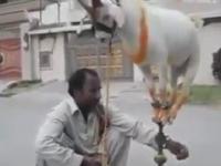 Sztuczka araba z kozą