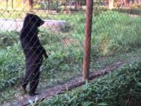 Niedźwiedzi na spacerze