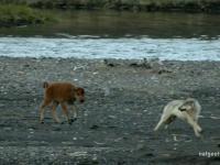 Młody bizon broniący się przed wilkiem