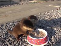 Karmienie młodych wydr