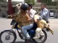 Dwóch arabów na motorze z panienkami
