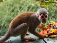Bezczelny małpy