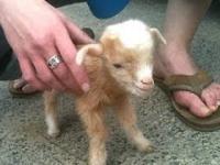 Słodkie małe kozy
