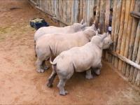 Płacz małych nosorożców po tym, gdy kończy się dla nich mleko