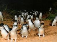 Parada pingwinów.