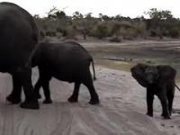 Kichające słoniątko