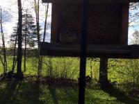 Gryzoń przyłapany na gorącym uczynku jak podkrada karmę dla ptaków