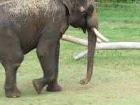 Słonie mogą dowolnie poruszać własnym penisem