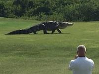 Ogromny aligator wtargnął na pole golfowe