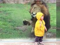Lew próbuje zaatakować dziecko w zoo