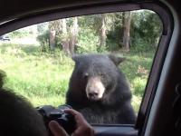 Niedźwiedź otwiera drzwi