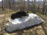 Labrador kurczowo trzyma się ostatnich oznak zimy