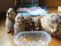 Pieski preriowe (nieświszczuki) jedzą śniadanko