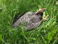 Kogut przyłapany na spaniu w trawie