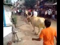 Krowa przeskakuje człowieka