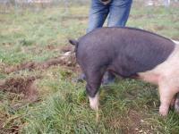 Jak wyprostować świni ogon