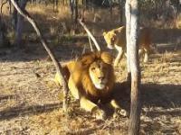 Lew próbuje upolowac obiad