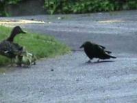 Kacza mama broni młode przed krukiem