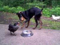 Kura wyjada z miski dobermanowi