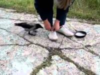 Wrona próbuje oszukać człowieka