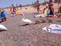 Łabędzia rodzina zmierzająca do wody na plaży