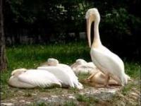 Pelikan czyści dziobem swą sierść